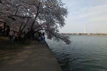 QTVR Tidal Basin Cherry Trees, VIew 4