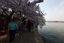 QTVR Tidal Basin Cherry Trees, VIew 5