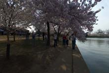 QTVR Tidal Basin Cherry Trees, VIew 6